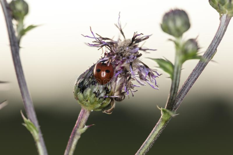 Schöner Marienkäfer mit schwarzen Flecken stockbild