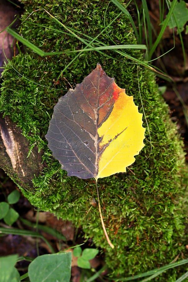 Schöner mehrfarbiger Fall Aspen Leaf Laying auf moosiges Logon FO stockfotos