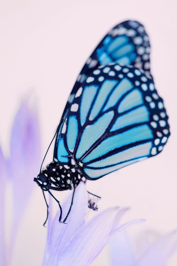 Schöner Monarchfalter stockfoto