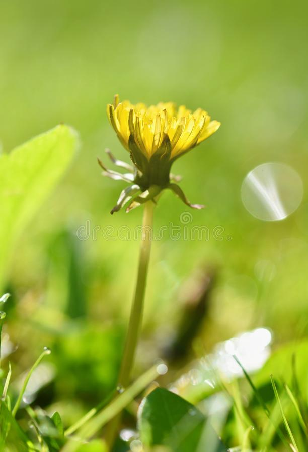 Schöner natürlicher Hintergrund des grünen Grases und Löwenzahn blüht mit Sonne frühjahr Saisonkonzept für Frühling und Morgen he stockbild
