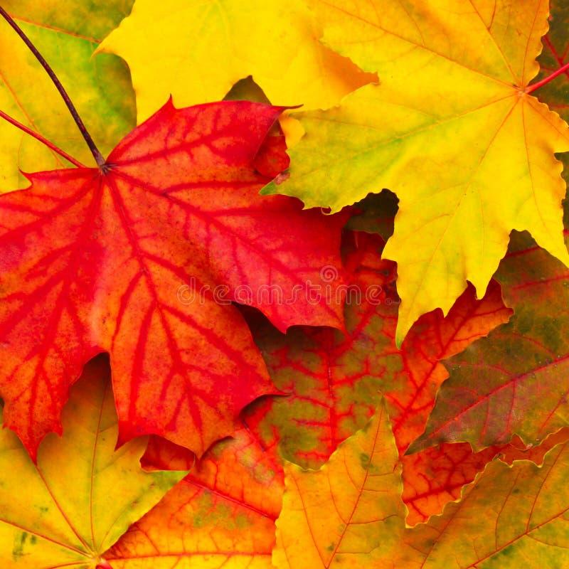 Schöner Naturherbst Hintergrund Bunte Beschaffenheit mit gefallenen Ahornblättern, Makro Mehrfarbige Ahornblätter der Gruppe Drau stockfoto
