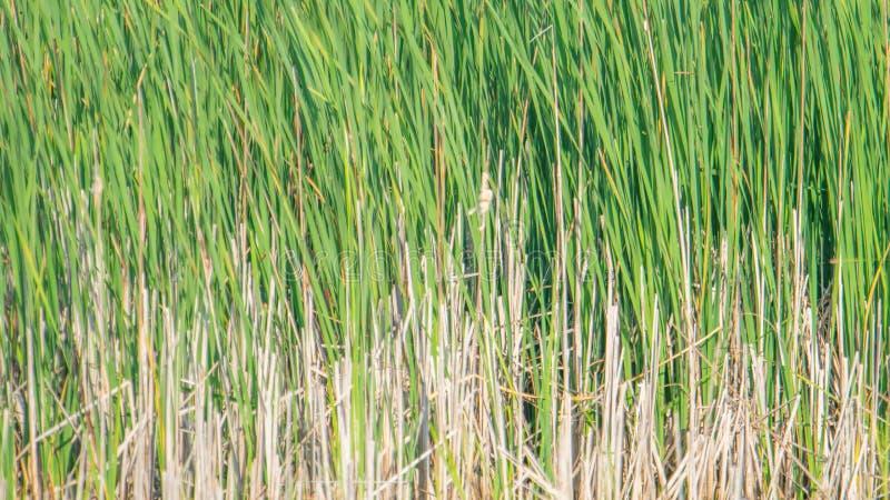 Schöner Naturhintergrund von grünen und braunen Schilfen/von Gräsern, die in den Wind - in den Sumpfgebieten der Crex-Wiesen-wild stockfotografie