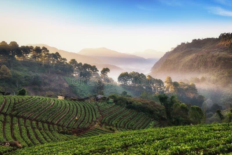 Schöner nebelhafter Morgensonnenaufgang im Erdbeergarten und Erdbeere bewirtschaften bei Doi Ang Khang lizenzfreie stockbilder