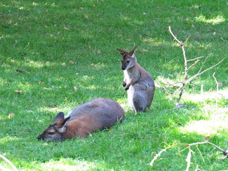 Schöner netter entzückender reizender süßer reizend junger kleiner Känguru mit seiner Mutter während heißen Sunny Days lizenzfreies stockbild