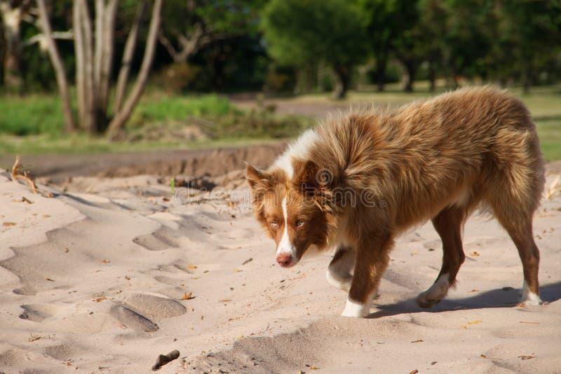 Schöner nicht reinrassiger Hund kreuzt das sibirische Gehen durch den Park lizenzfreie stockfotografie