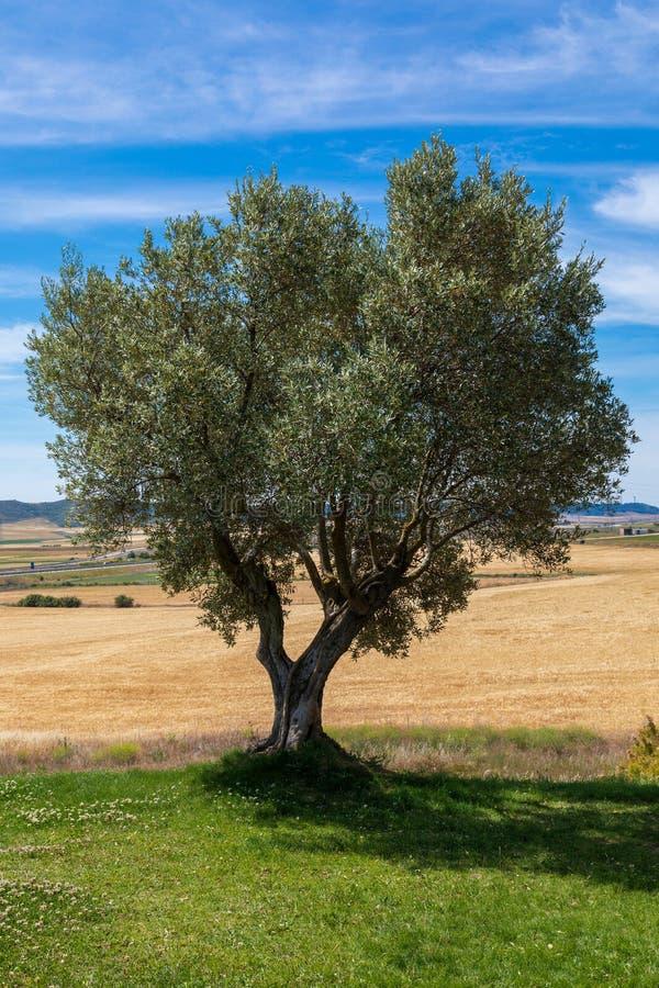 Schöner Olivenbaumbaum auf Feld des sonniger Tagesdes blauen Himmels und -weizens lizenzfreie stockbilder