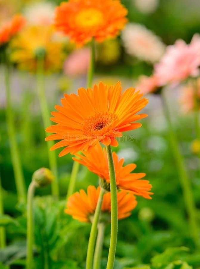 Schöner orange Gerbera, der im Garten blüht stockfotografie