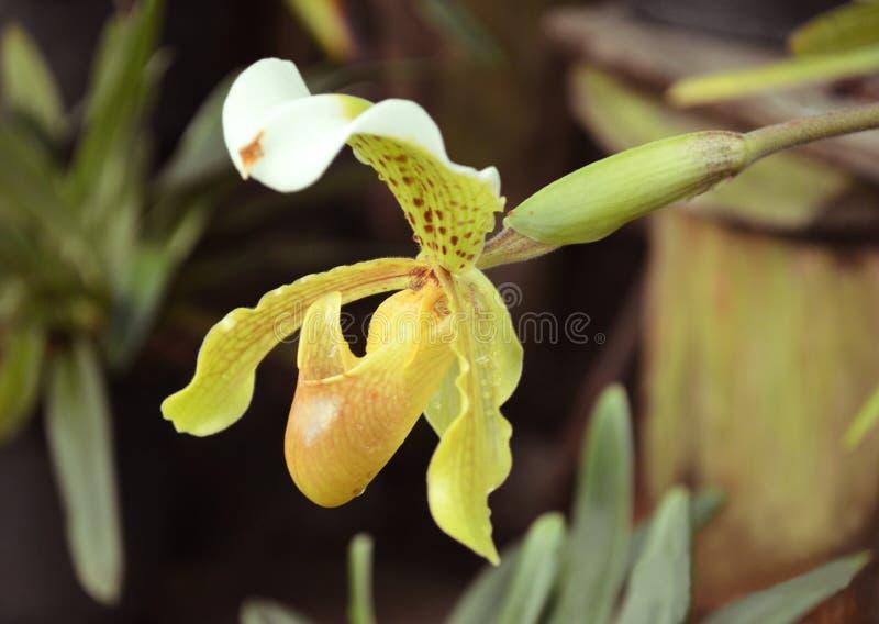 Schöner Orchideenblume Paphiopedilum angezeigt im Blumengarten von Gangtok, Sikkim, Indien lizenzfreie stockfotografie
