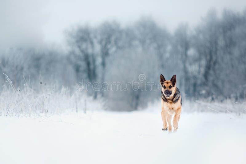 Schöner osteuropäischer Schäfer am snowingf orest am Winter lizenzfreie stockfotografie