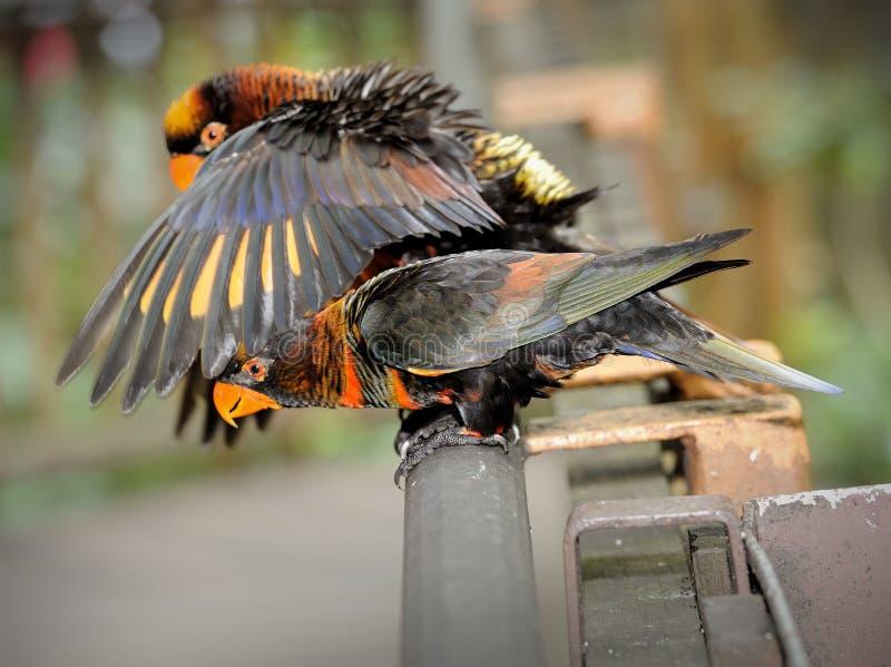 Download Schöner Papagei stockbild. Bild von blau, stange, vogel - 26372481