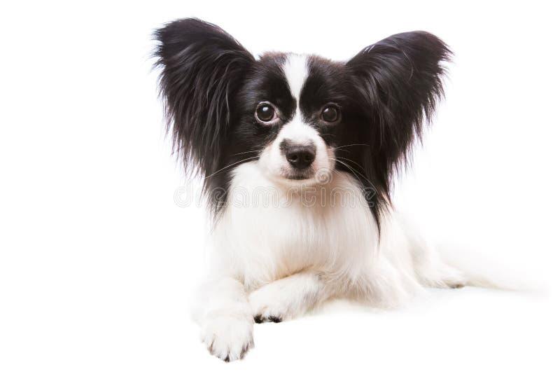 Schöner papillon Hund, der auf lokalisiertem Weiß liegt lizenzfreies stockfoto