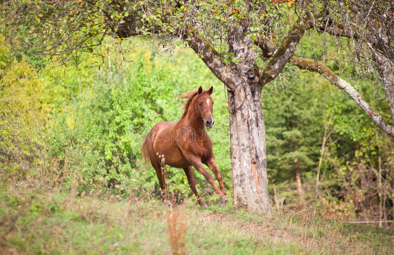 Schöner Pferdegalopp auf Sommerlicht-Wiesenstirnseite lizenzfreie stockfotos