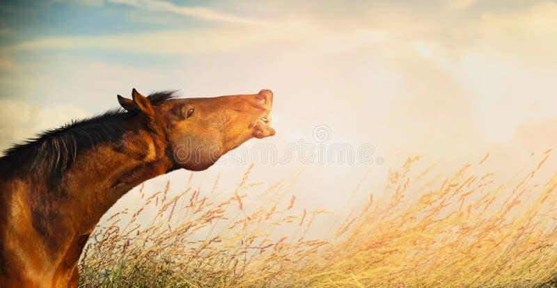 Schöner Pferdekopf des lächelnden Pferds auf Sommer- oder Herbstfeldgras- und -himmelhintergrund lizenzfreies stockbild