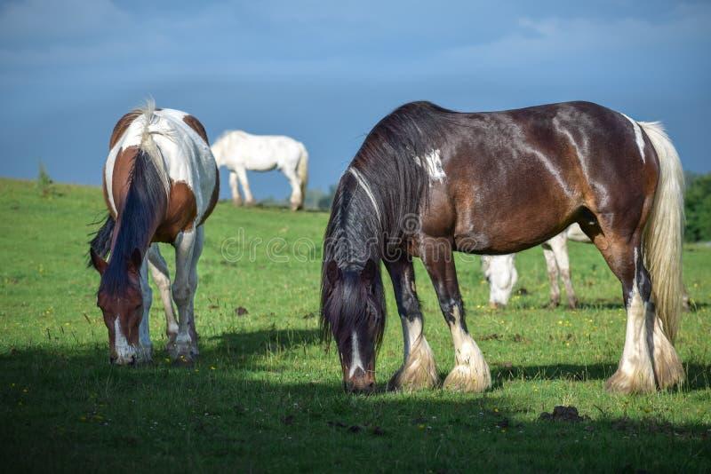 Schöner Pinto und braune Pferde, die in einer Wiese weiden lassen und Gras auf einem grünen Gebiet essen lizenzfreie stockfotos