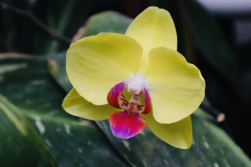 Schöner purpurroter gelber Blumenabschluß herauf grünen Hintergrund lizenzfreie stockfotografie