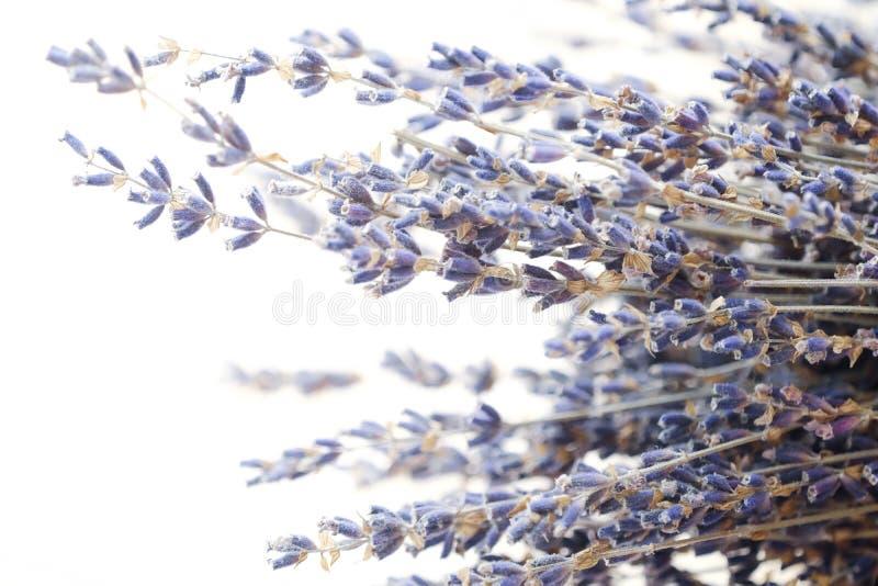 Schöner purpurroter Lavendel auf einem weißen Hintergrund stockfotografie