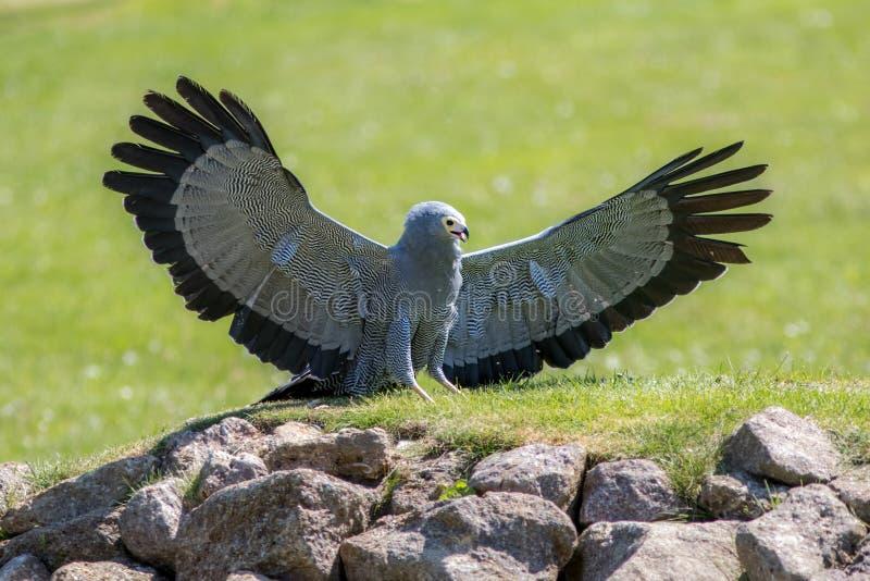 Schöner Raubvogel Afrikanischer Geländeläuferfalke mit Flügel outstret stockfotos