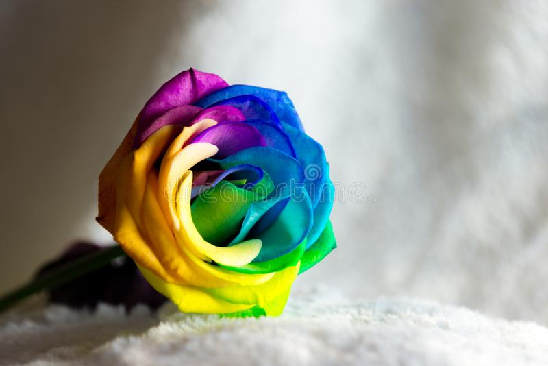 Schöner Regenbogen Rose auf Weiß lizenzfreies stockfoto