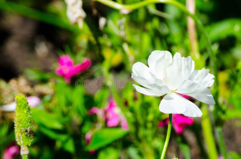 Schöner reizender weißer Ranunculus oder Butterblume blüht an einem botanischen Garten lizenzfreie stockbilder