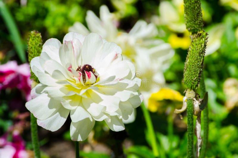 Schöner reizender weißer Ranunculus oder Butterblume blüht an einem botanischen Garten lizenzfreies stockbild