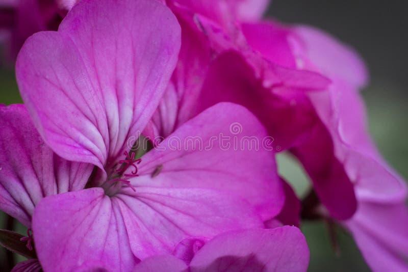 Schöner rosa Blumenabschluß oben lizenzfreie stockfotos