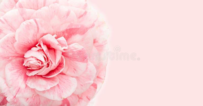Schöner rosa Kamelienabschluß oben mit Kopienraum für Grußkarte lizenzfreies stockfoto