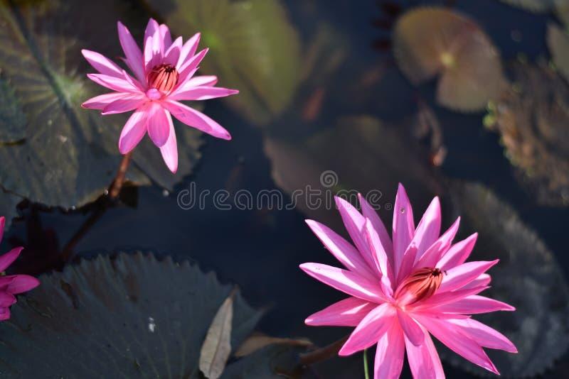Schöner rosa Seerose- oder Lotosblume Perry orange Sonnenuntergang Nymphaea wird im Wasser reflektiert lizenzfreies stockbild