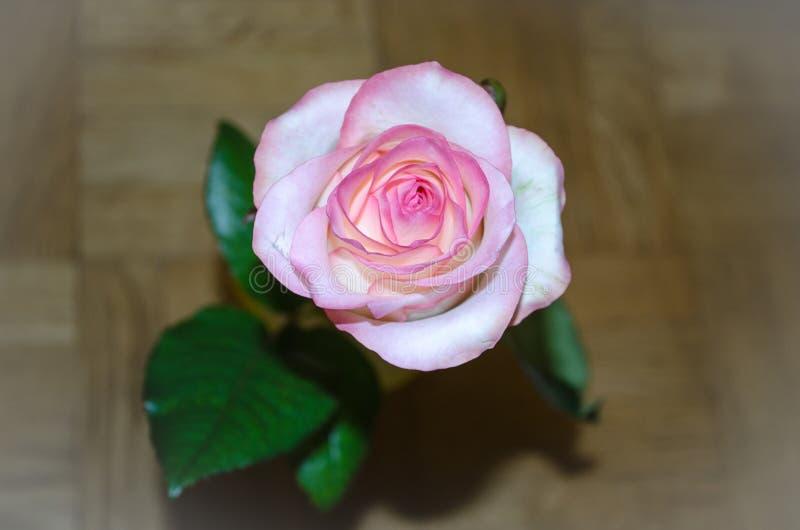 Schöner rosa Tee stieg auf gelben Hintergrund mit Blättern lizenzfreies stockfoto