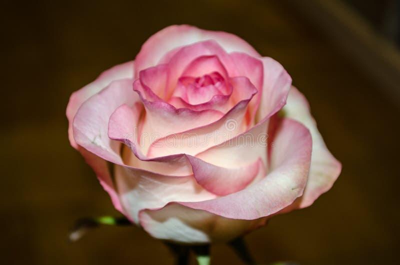 Schöner rosa Tee stieg auf gelben Hintergrund mit Blättern stockfoto