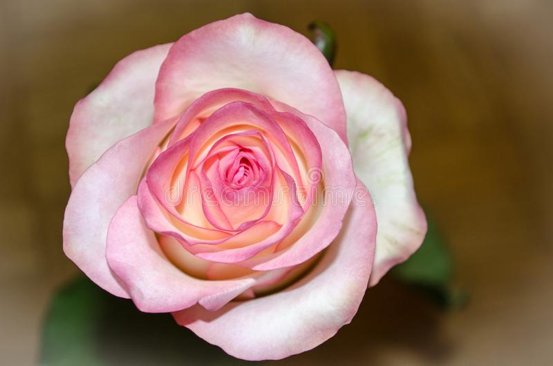 Schöner rosa Tee stieg auf gelben Hintergrund mit Blättern lizenzfreies stockbild