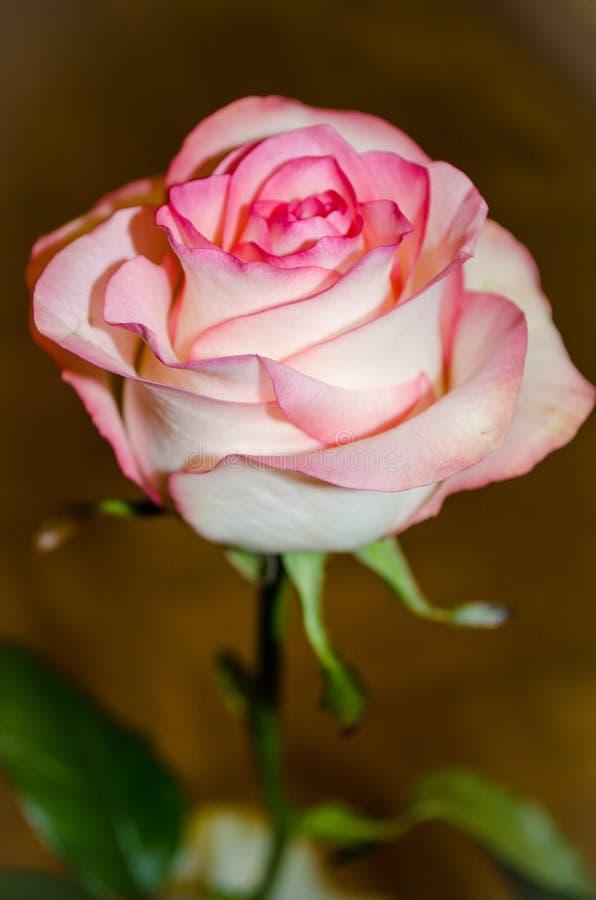 Schöner rosa Tee stieg auf gelben Hintergrund mit Blättern stockbilder