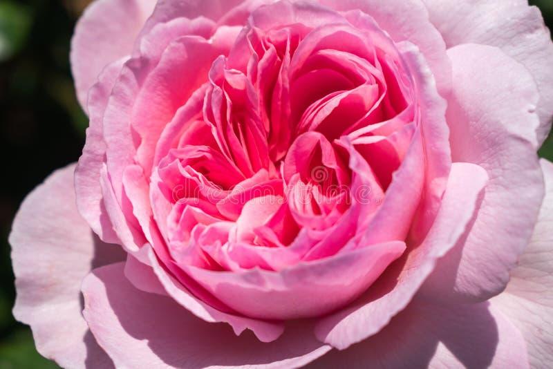 Schöner rosafarbener Rosen-Abschluss oben stockfotos