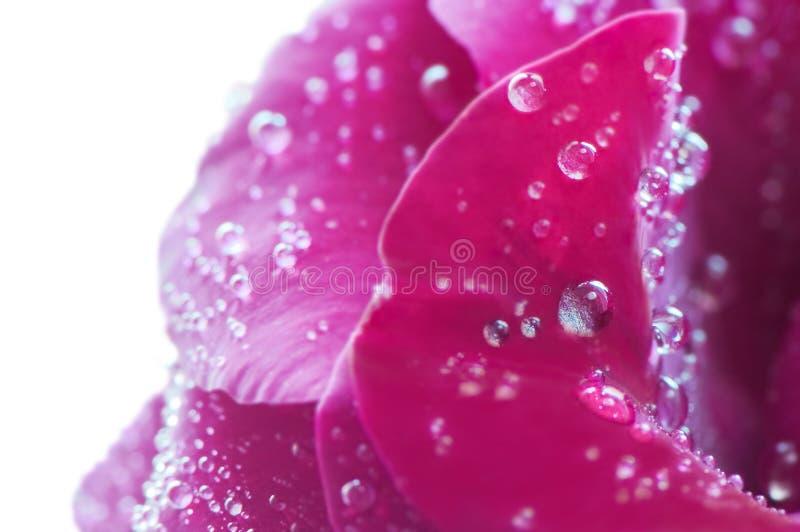 Schöner Roseabschluß oben lizenzfreie stockfotos