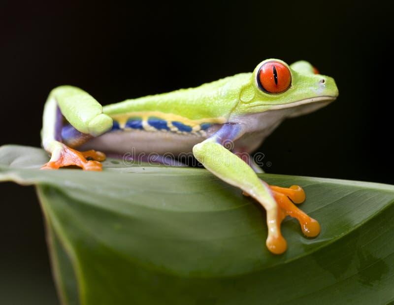 Schöner roter gemusterter grüner Baumfrosch, Costa Rica lizenzfreies stockbild
