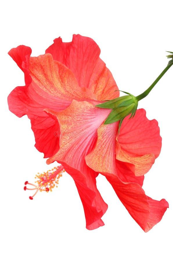 Schöner Roter Hibiscus Kostenlose Stockbilder