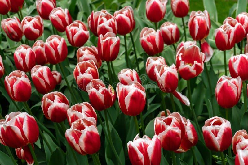 Schöner roter und weißer Garten der Tulpenblumen im Frühjahr stockfotografie