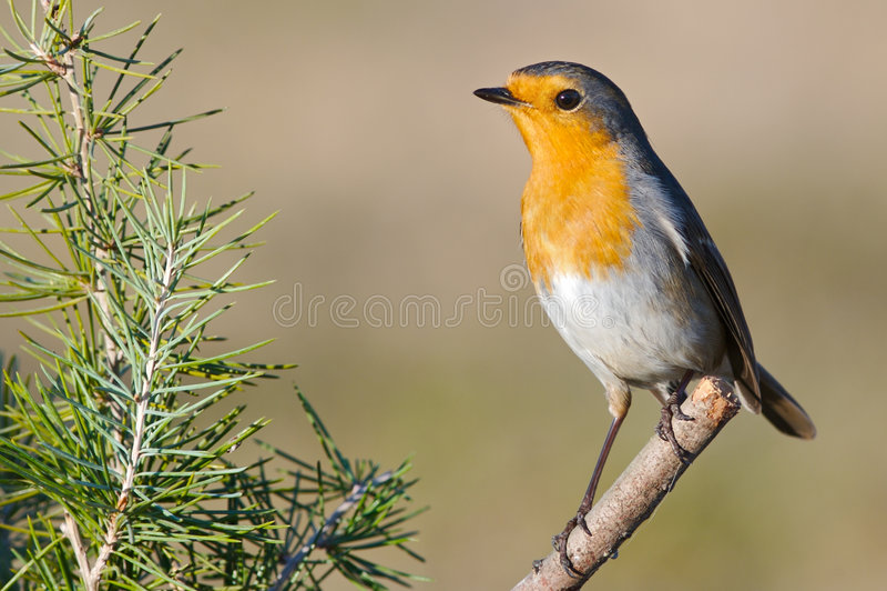 Schöner roter Vogel stockbild