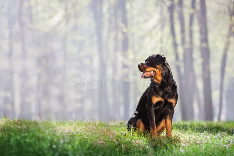 Schöner Rottweiler-Hund, der auf dem Gras und dem Schauen sitzt lizenzfreies stockbild