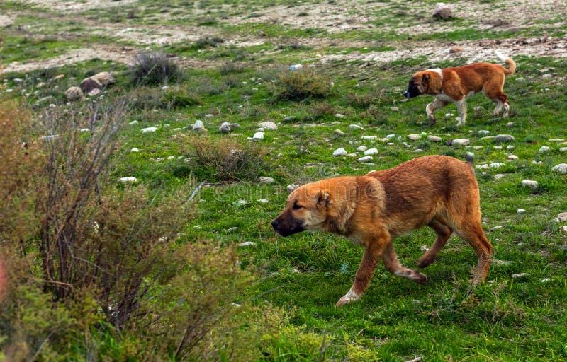 Schöner Schäferhund-Hund stockfotos