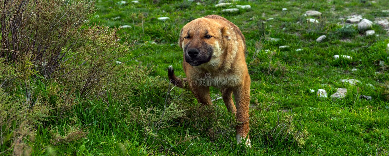 Schöner Schäferhund-Hund stockfoto