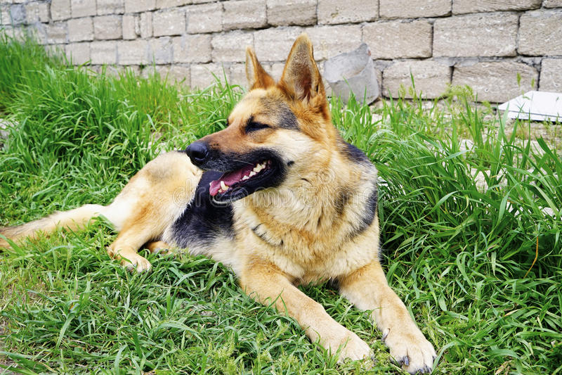Schöner Schäferhundhund, der auf grünem Gras liegt lizenzfreies stockfoto