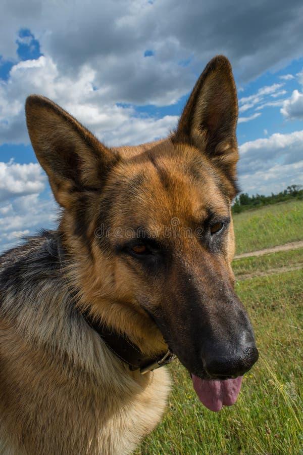 Schöner Schäferhundporträtabschluß herauf Foto stockbilder