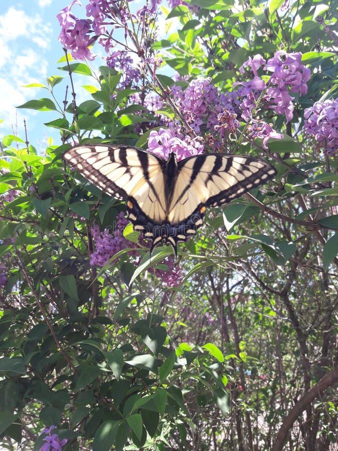 Schöner Schmetterling auf einem Fliederbusch an einem sonnigen Tag lizenzfreie stockfotos