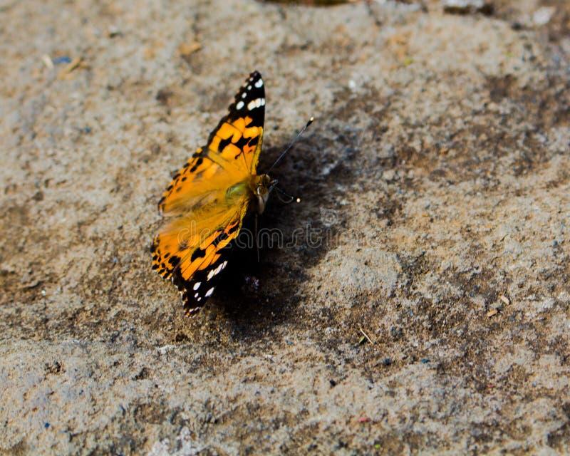 Schöner Schmetterling, der auf dem Felsen sitzt stockbilder