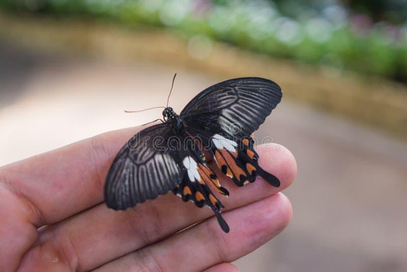 Schöner Schmetterling, der auf der Hand eines Mannes sitzt stockfoto