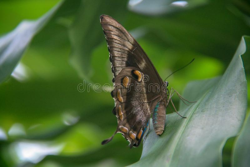Schöner Schmetterling, der auf einem grünen Blatt sitzt stockbilder