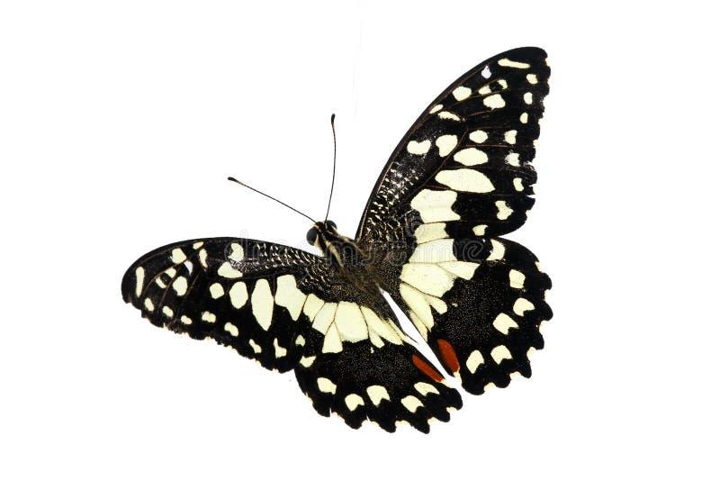 Schöner Schmetterling lokalisiert auf weißem Hintergrund stockbilder
