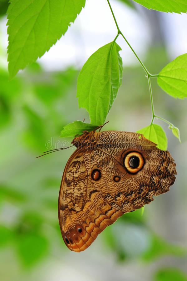 Schöner Schmetterling Morpho Menelaus - Flügel geschlossen lizenzfreies stockbild