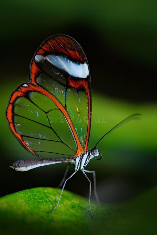Schöner Schmetterling, Nero Glasswing, Greta-nero, Nahaufnahme des transparenten Glasflügelschmetterlinges auf grünen Blättern, S stockfotografie
