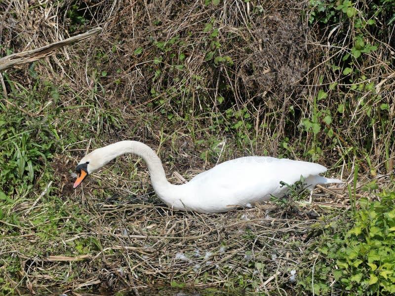 Sch?ner Schwan auf Nest durch Seite von Fluss stockfoto